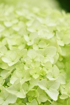 Soft Green Wall Paper Wall Colors Most Popular Ideas Hortensia Hydrangea, Green Hydrangea, Green Flowers, Love Flowers, Green Colors, Beautiful Flowers, Hydrangeas, Annabelle Hydrangea, Vert Olive