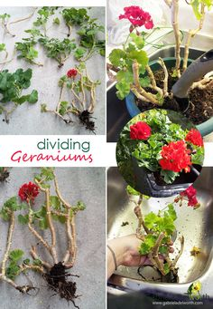 Gabriela Delworth Designs: Dividing Geraniums: Take new clippings and make new plants Overwintering Geraniums, Growing Geraniums, Geraniums Garden, Growing Flowers, Planting Flowers, Red Geraniums, Container Gardening Vegetables, Succulents In Containers, Container Flowers