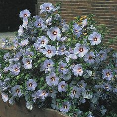 """Bluebird Hibiscus. An ideal focal point planting! This exceptional cultivar provides at least three months of spectacular color. The branches are covered from midsummer to frost in 3-5"""" azure-blue flowers with red-purple throats. Easy-to-care-for shrub reaches a height of 6-8' tall with a similar spread. Plant 5-8' apart in full sun to partial shade. Height: 6 - 8' Deer Resistant Bloom Time: Midsummer to frost. Spread: 4 - 6' Zones: 4-9"""