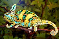 Premium Baby Veiled Chameleon for Sale: Veiled Chameleon Breeders. High Color Baby Veiled Chameleons for sale at FL Chams. Veiled Chameleon, Chameleon Lizard, Reptiles And Amphibians, Mammals, Geckos, Beautiful Creatures, Animals Beautiful, Chameleon Changing Color, Chameleons For Sale