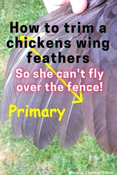 Pet Chickens, Raising Chickens, Chickens Backyard, Flight Feathers, Grow Your Own Food, Healthy Chicken, Livestock, Home Remedies, Chicken Wings