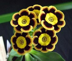 Auricula - Ring of Fire. Wish my brother had these at his wedding...he walked the aisle to Johnny Cash song of same namesake : )