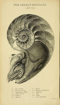 """theartfulgene: """" Nautilus is one of the best examples of the logarithmic spirals found in nature. Famous mathematician Jacob Bernoulli said that logarithmic spirals are a symbol of """"fortitude and..."""