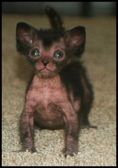 Lykoi the cuteness is too much!!!