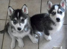 Young huskies (f: www.facebook.com/huskyoffical)