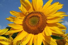"Photo By Maureen Bernard Sunflower Collection 2012♥ Title:  ""Looking Up"""