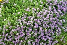 Purple haze: Alan Titchmarsh on growing aubrieta WITH brilliant blooms and a lust for life, the humble aubrieta will light up walls and patios in spring. Hamptons Party, The Hamptons, Temple Bells, Party Hacks, Lust For Life, Purple Haze, Summer Parties, Garden Inspiration, Garden Ideas