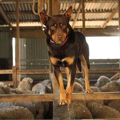 Pomchi Dogs, Schnoodle Dog, Australian Sheep Dogs, Australian Shepherd, Undertale Dog, Cute Dog Harness, Saarloos, Hedgehog Pet, Dog Whisperer