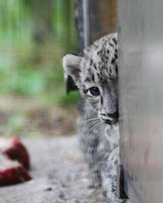 Timid Snow Leopard Cub