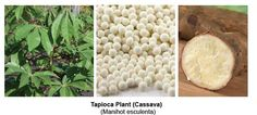 tapioca plant botanical - Yahoo Image Search Results
