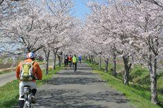 No.220 / ©いっちぃ / DAHON mu-sl 2012 / 友人たちと、りんりんロードを桜の季節に走った際の一枚です。天気も良く、メンバーも良く、桜の具合も良く最高の一日でした