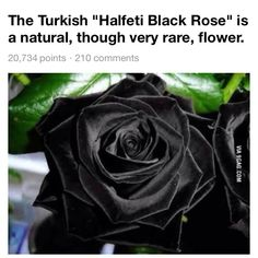 Prettiest flower in the world rainbow roses the most for Do black roses really exist