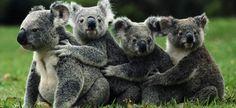 Los koalas australianos amenazados por la clamidia - http://www.absolutaustralia.com/los-koalas-australianos-amenazados-por-la-clamidia/