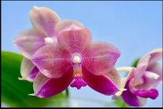 Phalaenopsis Orchids Phalaenopsis Orchid, Orchids, Little Babies, Plants, Flora, Plant, Orchid