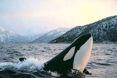 Best place to watch killer whales! | Eastsound, Washington
