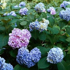 Hydrangea Get detailed growing information on this plant and hundreds more in BHG's Plant Encyclopedia.