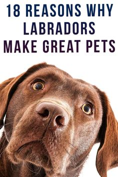 18 Reasons Why Labradors Make Great Pets Fun Facts About Dogs, Dog Facts, Labradors, Dog Behavior, Pitbulls, Dads, Advice, Board, Pit Bulls