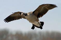 goose hunting | Canadian Geese Hunting Tips | Globerove