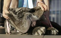 Martha, A Neapolitan Mastiff. Winner Of The 2017 World's Ugliest Dog Competition