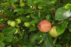 There are varieties of apple trees in the US but, sadly, most of us don't have room to grow that many. If you have space to plant even one tree, though, you can harvest several varieties of fruit—thanks to the miracle of grafting: Grafting Fruit Trees, Grafting Plants, Big Garden, Dream Garden, Lawn And Garden, Outdoor Plants, Outdoor Gardens, Outdoor Spaces, Variety Of Fruits