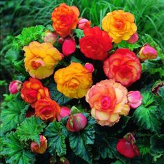 Despite the shade, these lovelies grow in my yard.  Tuberous begonias...my favorite annual.