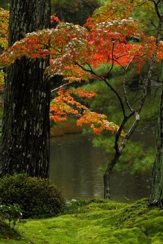 Moss covered garden with Japanse maple in fall, Saiho-ji Temple(KokeDera) ,Kyoto, Japan