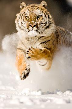 Wildlife photography animal in snow Siberian Tiger.