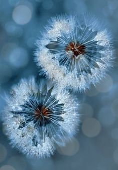 Dandelion clock Wallpaper Flowers Nature Wallpapers) – Free Backgrounds and Wallpapers Foto Poster, Dandelion Wish, Dandelion Flower, Blue Aesthetic, Make A Wish, Macro Photography, Photography Ideas, Belle Photo, Pretty Pictures
