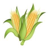 Ear corn Illustrations and Clipart. 365 ear corn royalty free illustrations, drawings and graphics available to search from over 15 vector EPS clip art publishers.