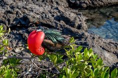 Visiting the Galapagos Islands can be a dream come true. While islands themselves are impressive, it is really the Galapagos animals -- like this frigate bird -- that steal the show.