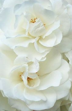 White Roses by Worjohn