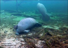Latest Manatee Update: January 24, 2017 I was expecting the river temp to be lower than the 68° F (20° C) it was. Then I was surprised to find 39 manatees. I paddled out to the river and Howie swam in under the canoe. Then when I reached the main observation deck, I found Rocket had finally made it home from the spring to our north. He has a new scar, but he is okay. Photo is Rocket from today. -- Wayne Hartley, Manatee Specialist.