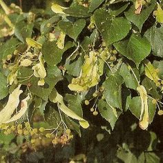 Tilla cordata - Small leaved Lime  - Deciduous  - Slower growing than other limes but very hardy.  - Dimensions: 8x4 metres