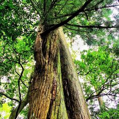 【under_g2】さんのInstagramの写真をピンしています。《#nature #green #tree #wood #leaf #Forest #root #Earth #Branch #Plant #自然 #緑 #木 #森 #林 #森林 #写真好きな人と繋がりたい #woods #trees #beautiful #beauty #写真部 #naturelover #ig_japan #japanfocus #team_jp #lovers_nippon #巨木》