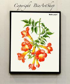 Trumpet vine (Campsis_radicans)