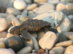 Bady turtle caratta-caretta.