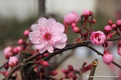plum flowers   Prunus mume picture, Flower pictures - 5096
