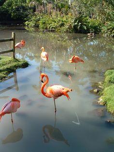 Greater Flamingo, Phoenicopterus roseus, adult | Kommetjie ...