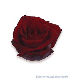 DEEP SECRET (HYBRID TEA) Fragrant deep crimson flowers and dark green foliage. Up to 90cm