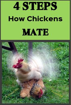 Some roosters prefer to take a proud stance and in that way impress and attract the hens and others are using different more energetic methods. Types Of Chickens, Raising Backyard Chickens, Backyard Chicken Coops, Pet Chickens, Types Of Roosters, Heritage Chicken Breeds, Heritage Chickens, Hens, Farm Life