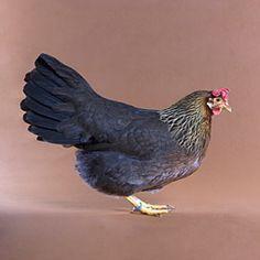 Chicken Breeds - Leghorn (Non-White)