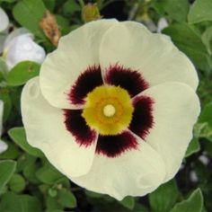 Kalmia Latifolia, Plantation, Peppermint, Cream, Wood, Compact, Pregnancy, Gardens, Hydrangeas