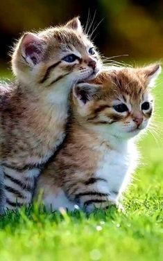 Cute cats and kittens, kittens cutest, kitten love, i love cats, cute cats Kittens And Puppies, Cute Cats And Kittens, Baby Cats, Kittens Cutest, Fluffy Kittens, Black Kittens, Kittens Playing, Siamese Kittens, Fluffy Cat