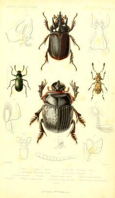 t.2 (1858) - Archives entomologiques, ou, Recueil contenant des illustrations d'insectes nouveaux ou rares / - Biodiversity Heritage Library