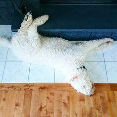 13 Easy Ways to Keep Your Dog Cool This Summer / Komondor sleeping (www.danslelakehouse.com)