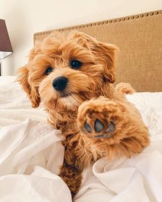 Cavapoo puppies: information, characteristics, facts, videos - DOGBEAST art breeds cutest funny training bilder lustig welpen Super Cute Puppies, Cute Little Puppies, Cute Little Animals, Cute Dogs And Puppies, Cute Funny Animals, Baby Dogs, Doggies, Funny Dogs, Small Puppies