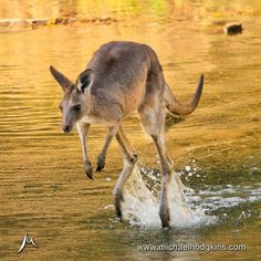 Skippy de doo da - Shot this fella crossing the creek at Takarakka Bush Resort in the Carnarvon National Park Queensland. #australia #takarakka #carnarvongorge #queensland #kangaroo #outback #wildlife |