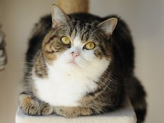 Maru, Boy of Scottish Fold
