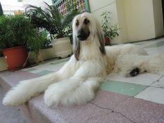 galgo afgano - afghan hound