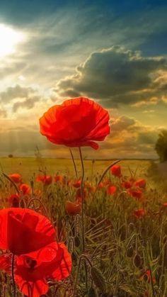 Poppy Field on a Sunny Day……..SAD POEM ……THE POPPIES GROW IN FLANDERS FIELD….ROW ON ROW….ETC ETC………ccp
